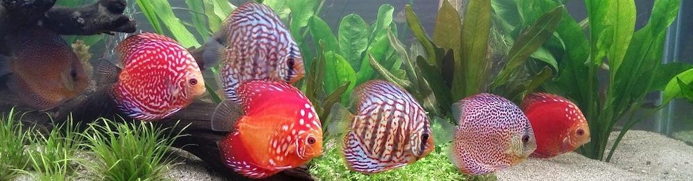schooling-discus-fish-1727842_1280.jpg